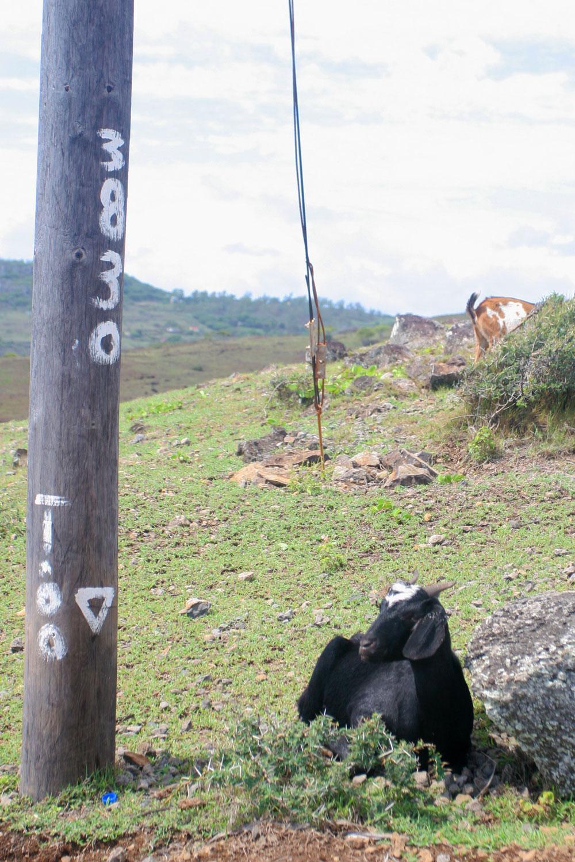 Chèvre postée entre Pointe Coton et Roche Bon Dieu