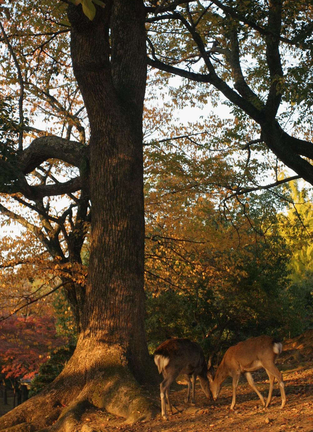 Dains du parc de Nara
